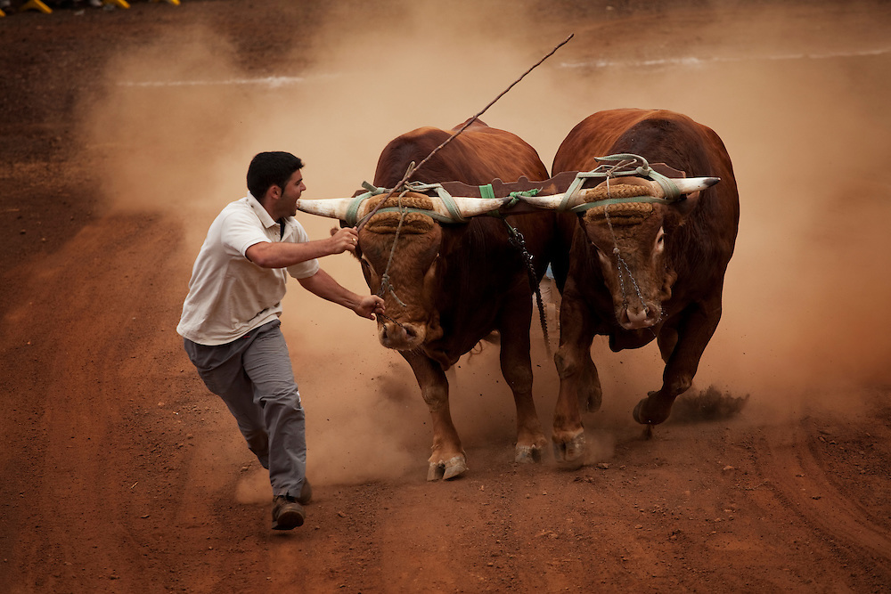 Traditional competition where the farmers show of the strength of their bulls and cows by competing which pair can pull the heaviest load the fastest. Traditionel landsbyfest, VALLE GUERRA, Nord Tenerife.