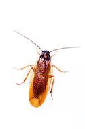 Cockroach (Ischnoptera bilunata)<br /> TEXAS: Jasper Co.<br /> Brookeland/Lake Sam Rayburn KOA @ 505 Co Rd 212<br /> 31.141606, -93.994174<br /> 21.May.2015<br /> J.C. Abbott #2733 & K.K. Abbott