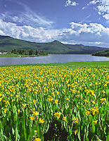 A patch of mule-ears gives a splash of color to the lush green valley at Vega State Park, Colorado.