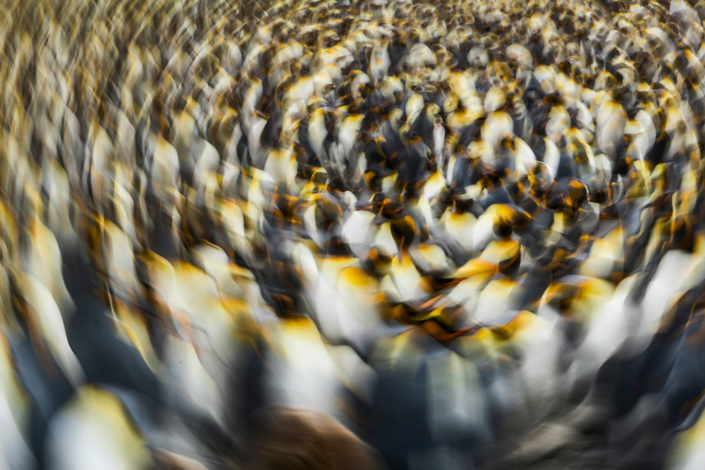 A colony of over 60,000 king penguins on Saturday, Feb. 3, 2018 in Salisbury Plain, South Georgia. (Photo by Ric Tapia)