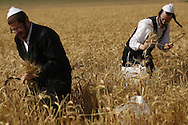 Ultra Orthodox Jewish harvest wheat in a field outside the Israeli community of Mevo Horon, May 9, 2013. Harvesting for the holiday of Shavuot, commemorating Moses receiving the Ten Commandments and also a harvest holiday, begins next Monday sundown.