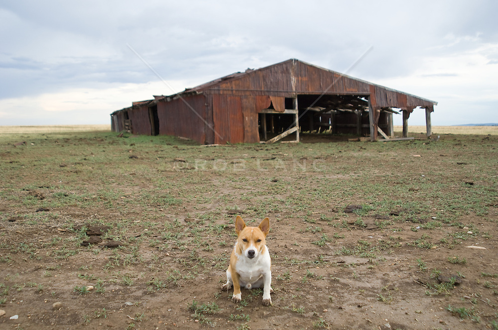Jack russell terrier sitting outside a rustic weathered barn