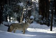 Coyote, Winter, Snow, Yosemite, Yosemite National Park, California
