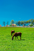 Thoroughbred horses in pasture, Manchester Farm, Lexington, Kentucky USA.