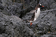 Gentoo penguin jumps into the water from the rocks above.