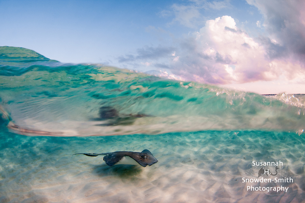 """Stingray Wave"" - <br />