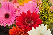 Gerbra Daisies Red, Pink, White, Orange, unique, Love, bloom, blooming, blooms, blossom,  Red, color, flora, flower, flowering, flowers, nature,