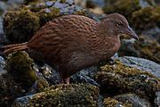 Stewart Island Weka, Ulva Island, New Zealand