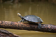 Yellow-spotted River Turtle (Podocnemis unifilis)<br /> Yasuni National Park, Amazon Rainforest<br /> ECUADOR. South America<br /> IUCN CONSERVATION STATUS, CITES II VULNERABLE.<br /> HABITAT & RANGE: Mainly in secondary tributaries of main rivers. Only to main rivers during nesting season when sand banks exposed. Amazonia, Llanos & Orinoco of Colombia, Venezuela, Brazil, Guianas, Ecuador, Peru & Bolivia.