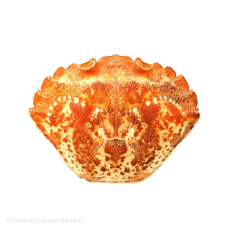Shell of a Green Crab (Carcinus maenas), Bar Harbor, Maine.