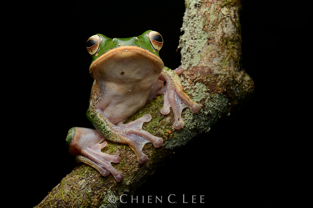 A tree frog (Boophis sp.) from the rainforest of Masoala National Park. Antsiranana, Madagascar.