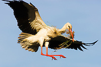 White stork (Ciconia Ciconia) landing on nest with building material, Pont du Gau, Camargue, France