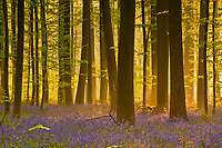 Hallerbos forest at dawn, Bluebells carpet Hyacinthoides non scripta, Belgium