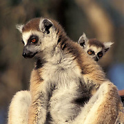 Ring-tailed Lemur, (Lemur catta) ENDANGERED SPECIES.Adult and young. Madagascar.