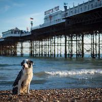 Images of Django, the Blue Merle Collie, on Brighton beach