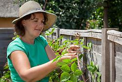 Tying in fruit bearing canes of blackberries with garden tie twists. Rubus