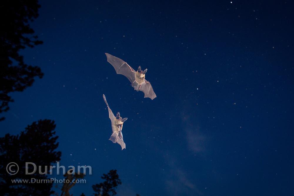 Bats (myotis sp) flying against the night sky. Central oregon. Single exposure image. © Michael Durham.