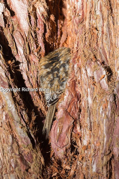 Treecreeper resting in the bark of a Sequioa tree at the Aigas Field Centre. In vertical format.