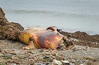 Dead Whale Cape Breton Island Nova Scotia