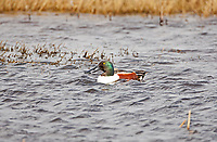 A Northern Shoveler feeds in an early April marsh pond supporting his mating colors.