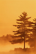 Trees in morning fog<br /> Burwash<br /> Ontario<br /> Canada