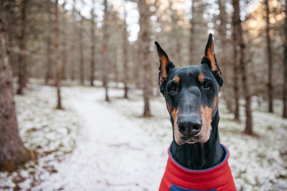 Portrait of a black elderly Doberman with cropped ears in a red and purple coat