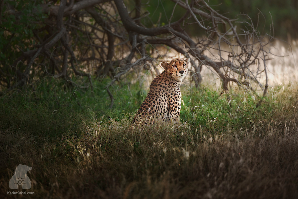 Cheetah in the grass, Samburu National Reserve, Kenya