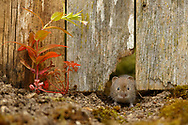 Bank Vole (Clethrionomys glareolus) adult emerging from hole in fence, South Norfolk, UK. July.