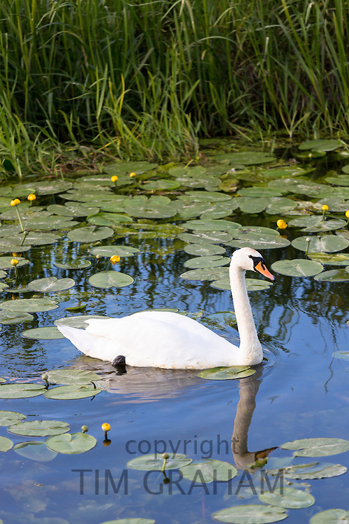 Mute Swan, Cygnus olor, serenely gliding along one of the rhynes on the Somerset Levels wetlands in summer, UK