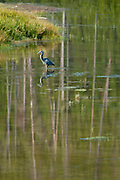 Blue Heron, Madison River, Yellowstone National Park, WY, on Sept. 5, 2012.  (Photo by Aaron Schmidt © 2012)