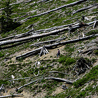 Dead trees still lay on a mountainside near Mount St. Helens in Toutle, Washington in June 2008.