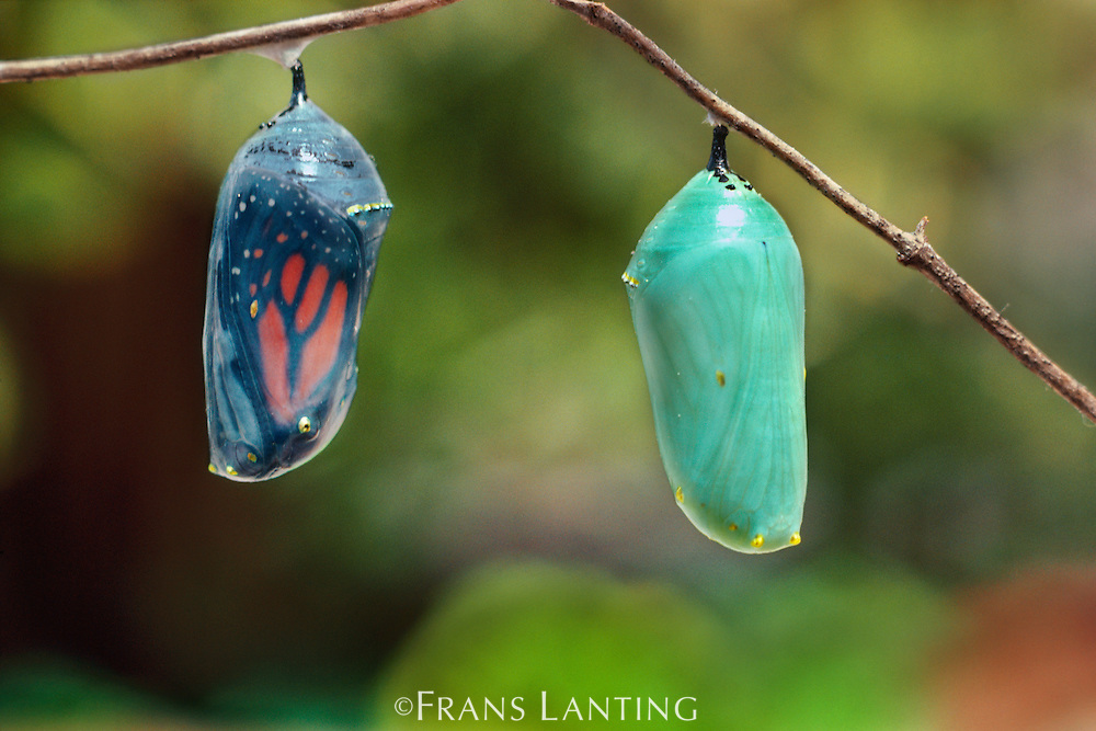 Monarch butterfly larvae pupating, Danaus plexippus, Monterey Bay, California