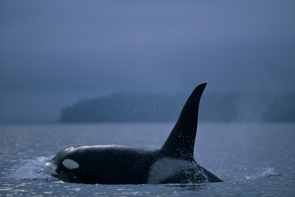 USA, Alaska, Tongass National Forest. Adult Male Orca Whale (Orcinus orca) swims in Frederick Sound on summer day