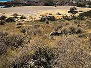 Choiques, or Rheas on the Punta Tombo Reserve in Puerto Madryn, Argentina.  These large, flightless birds, scurried through the brush, and even across oiur trail, as we walked along.