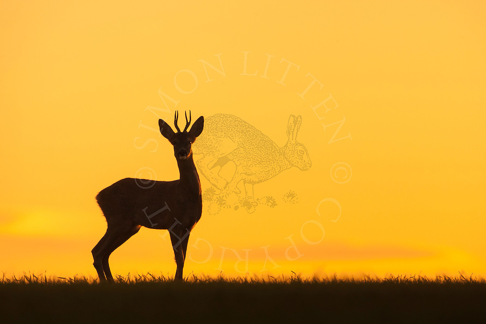 Western Roe Deer (Capreolus capreolus) adult male silhouetted against a dusk sky, Norfolk, UK.
