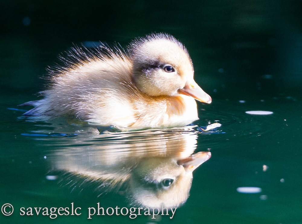 Two day old mallard duckling. Salt Lake Valley, Utah June 2013