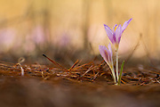 Mauve Colchicum common names are: autumn crocus, meadow saffron and naked lady. Photographed in Israel in November