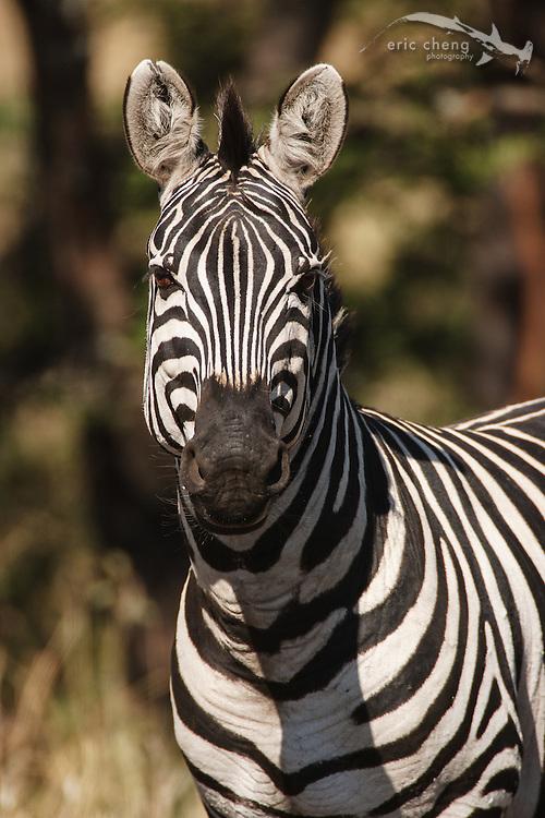 Burchell's zebra (Equus burchellii), Serengeti, Tanzania.