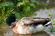 Mallard drake preening on stream in The Cotswolds, Oxfordshire, England, UK