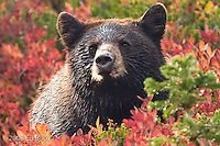 Black Bear cub (Ursus americanus) in a huckleberry patch in Mount Rainier National Park, Washington, USA