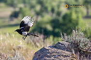 Magpie in Powder River County, Montana, USA