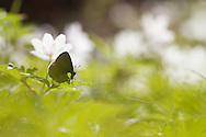 A Green Hairstreak resting on a wood anemone in a forest clearing.