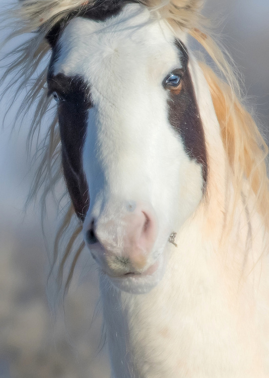 The stallion, Tonkawa, is one of the most striking horses at McCullough Peaks.  His unique medicine hat coloring and piercing blue eye makes him one of the most photographed horses on the range.