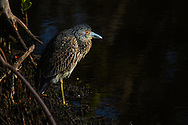 An immature Yellow Crowned Night Heron rests on the bank at Ding Darling National Wildlife Refuge.