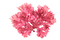 Red algae (Callophyllis laciniata), Finavarra, Carrichadda, Ireland Atlantic  | AFP 703 Herbarium Akira Peters