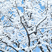 Branches covered with snow against a blue sky