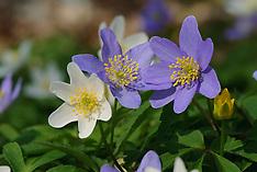 Windflower, blue cultivar, blauwe bosanemoon