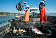 PRICE CHAMBERS / NEWS&GUIDEJake Junior dumps piles of lake trout into the back of a fishing boat, clearing the trap net positioned near a known spawning ground in Yellowstone Lake. Researchers believe the fish was introduced to area waters in 1994 and soon began displacing native cutthroat trout.