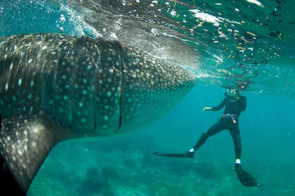 A diver gets a head on shot. Whale sharks in the Philippines gather as they are feed by locals for viewing by tourists, and divers.