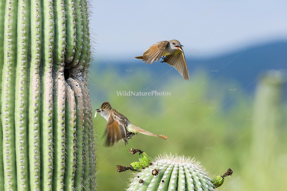 A pair of Brown-crested Flycatchers (Myiarchus tyrannulus) bring food to babies in a nest in a Saguaro (Carnegiea gigantea). Tucson